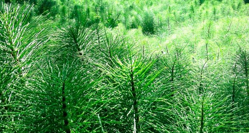 cola de caballo planta ecologica naturdis
