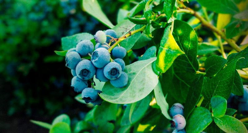 hojas de arandano ecologico