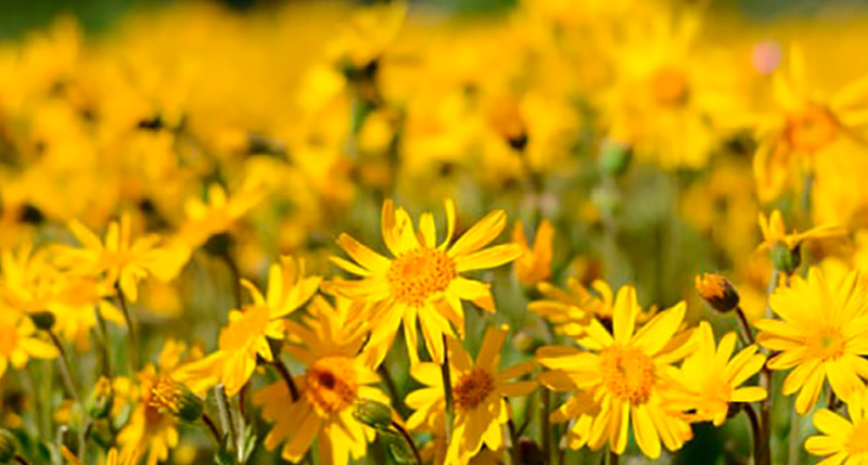 flores de árnica ecológica
