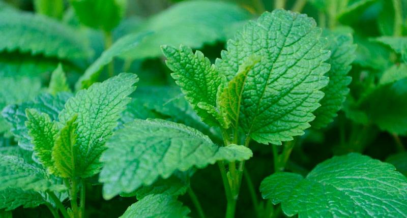 melisa plantas medicinales