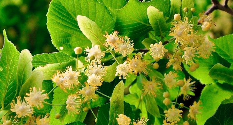 tila-ecologica-planta-medicinal