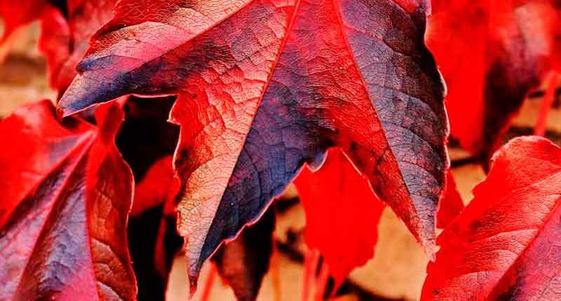 hojas vid roja ecologica