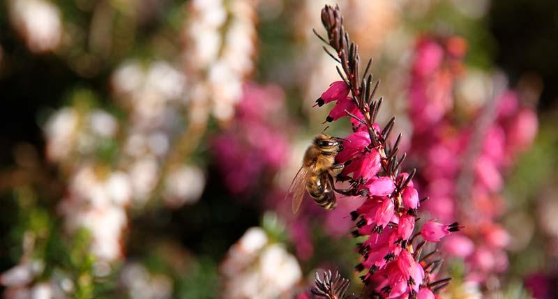 miel de brezo comprar online naturdis ecologica